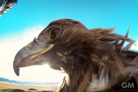 gigamen_Golden_Eagle_With_GoPro