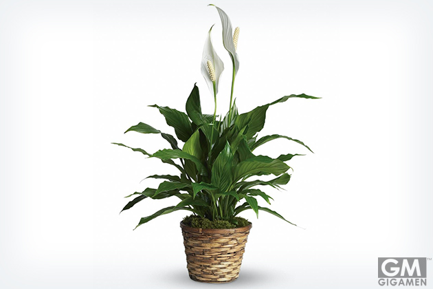 gigamen_Best_Houseplants08