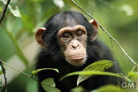 gigamen_Chimp_DNA_Human