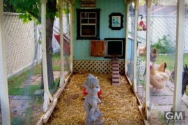 qoopy-luxury-day-care-service-for-pet-chickens01