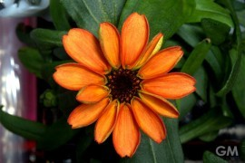 first-zinnia-in-space